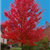Autum Blaze Maple